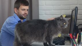 A gray domestic cat jumped onto the desktop of a self-employed and working man