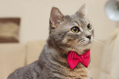 Gray domestic cat portrait Royalty Free Stock Photos