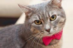 Gray domestic cat portrait Stock Images