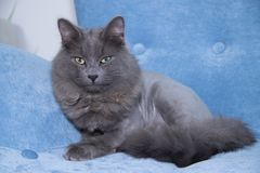 Gray domestic cat on a soft armchair. Cat with a haircut. A pet royalty free stock images