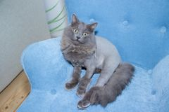 Gray domestic cat on a soft armchair. Cat with a haircut. A pet royalty free stock photography