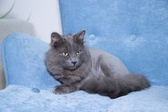 Gray domestic cat on a soft armchair. Cat with a haircut. A pet stock photos