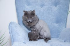 Gray domestic cat on a soft armchair. Cat with a haircut. A pet stock images