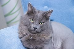 Gray domestic cat on a soft armchair. Cat with a haircut. A pet stock photo