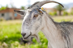 Gray domestic goat on summer pasture Royalty Free Stock Images