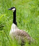 Gray domestic goose  Royalty Free Stock Photos