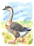 Gray domestic goose on the lawn, watercolor illustration