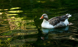 Gray domestic goose in a pond Stock Photography