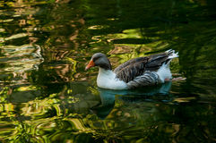 Gray domestic goose in a pond Stock Images