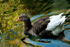 Gray domestic goose in a pond Stock Photo