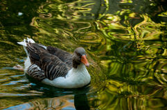 Gray domestic goose in a pond. On a background of water royalty free stock images