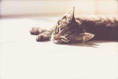 Gray Domestic Kitten Resting lindo en el piso Imagen de archivo