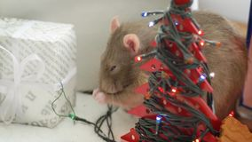 Gray domestic rat washes near Christmas garland. Close-up of cute gray rat washes. New Year garland and christmas gift at the background. Symbol of coming 2020 stock video