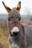 Gray donkey. Small Gray donkey head portrait Stock Images