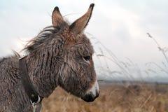 Gray donkey. Small Gray donkey head portrait Royalty Free Stock Images