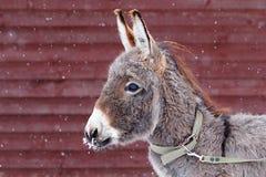 Gray Donkey. Small Gray donkey and snow Stock Photography