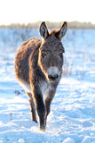 Gray Donkey. Grey donkey in winter field Stock Photos