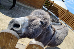 Gray donkey animal closeup Royalty Free Stock Photography