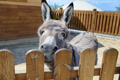 Gray donkey animal closeup Stock Photography