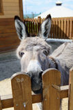 Gray donkey animal closeup Stock Image