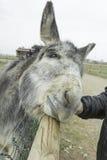 Gray donkey Royalty Free Stock Photos