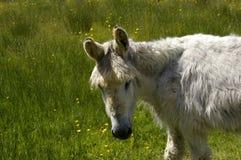 Gray Donkey Stock Image