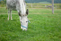 Gray donkey eating grass in a green field enclosure. Donkey grazing in enclosure green field rural scene Royalty Free Stock Photography