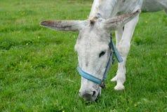 Gray donkey eating grass Stock Image