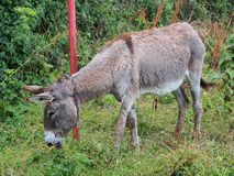 Gray Donkey Royalty Free Stock Photos