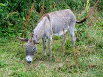 Gray Donkey Stock Photo