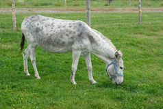 Gray donkey grazing in enclosure green field. Donkey eating grass in meadow green field enclosure Stock Image