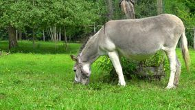Gray donkey on the green field slow motion stock footage