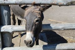 The gray donkey looks out from behind the fence stock photo