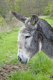 Gray donkey profile. Farm animal in the meadow Royalty Free Stock Image