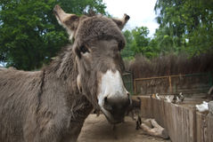 Gray donkey Royalty Free Stock Image