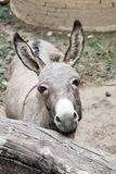 Gray donkey in the stall Royalty Free Stock Photos