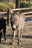 Gray donkey Stock Photo