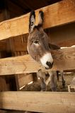 Gray Donkey in a wooden pen Royalty Free Stock Image