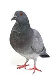 Gray dove Royalty Free Stock Photos