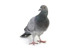 Gray dove Stock Photography