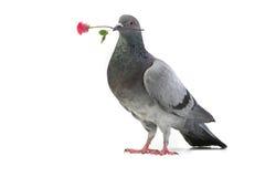 Gray Dove Arkivfoto