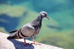 Gray Dove Stock Image