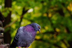Gray Dove against the background of green tree branches, the head is tilted to the side. Royalty Free Stock Image