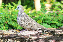 Gray dove in the garden Royalty Free Stock Images