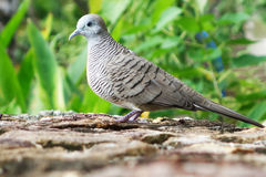 Gray dove in the garden Stock Images