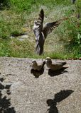 Dove with outstretched wings. Gray dove with outstretched wings stock photo