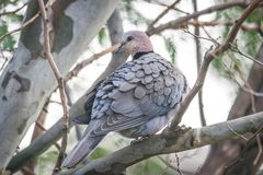 Gray Dove Perching on Tree Branch Royalty Free Stock Photos