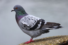Gray Dove (Rock Pigeon). Side view of a pigeon on a rock royalty free stock image