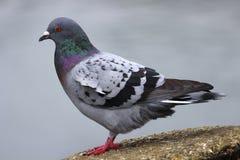Gray Dove (Rotsduif) Royalty-vrije Stock Afbeelding