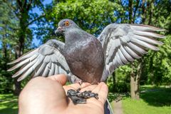 A gray dove sits on an arm and looks into the camera. royalty free stock images